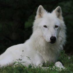 Wolf Conservation Center South Salem NY