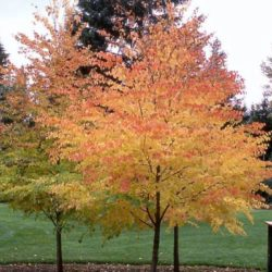 almstead_fall_colors_katsura-tree-in-fall Adding Fall Color to your backyard landscape