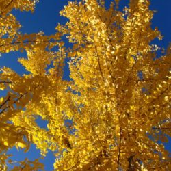 Ginkgo Adding Fall Color to your backyard landscape