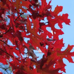 Scarlet Oak Adding Fall Color to your backyard landscape