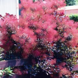 Smokebush Adding Fall Color to your backyard landscape