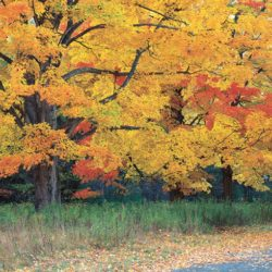 Sugar Maple Adding Fall Color to your backyard landscape