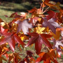 Sweetgum Adding Fall Color to your backyard landscape