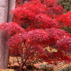 Japanese Maple Adding Fall Color to your backyard landscape