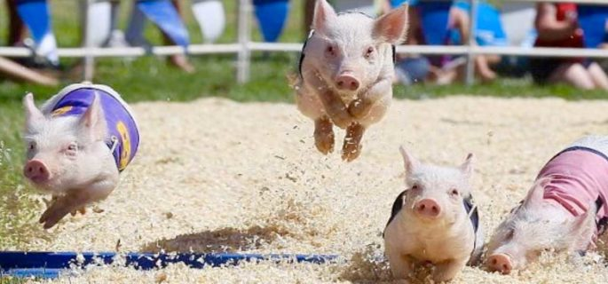 Racing pigs at the Dutchess County Fair